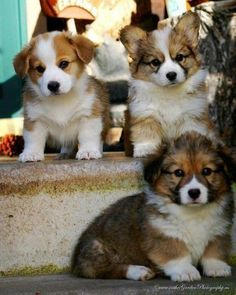ADORABLE Fluffy Collie pups.