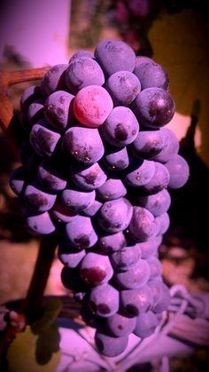 222 Desirable Grape Images Wine Cellars Vineyard