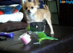 Watch a #funnyfight between a parrot and a dog #funnyanimals #funnyvideos #funnybirds