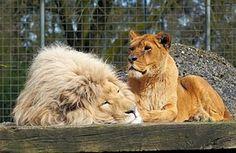 Lion, Lioness, Isot Kissat