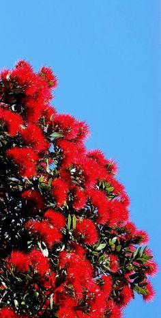 Pohutukawa - New Zealand Christmas tree South Island, Small Island, Kiwi, New Zealand, Beautiful Flowers, Trees, Christmas Tree, Backyard, Costume