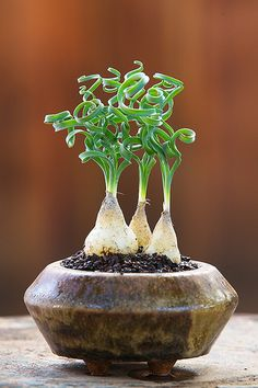 Albuca concordiana, a brother to my Albuca Spiralis Fizzle Sizzle. I kinda want one of these too. :-]