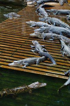 50 x 46 mm plat Crocodile Alligator Clips Cheveux Blanc Bow Craft Making
