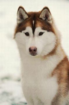 "Beautifully correct conformation in a Siberian Husky. Note the almond shaped eyes. Husky eyes can be brown, blue, green, amber and a combination of those colors. If colors are combined in one eye it's called ""parti-eyed"". If each eye is a different color, it's called ""bi-eyed"""