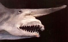 """A goblin shark. Very few people in the world have ever known of an extremely rare species called the goblin shark. But some Japanese discovered the """"living fossil"""" alive and even put it on display in an aquarium, media reports said Thursday. Unfortunately, the shark died on the morning of Jan. 27."""