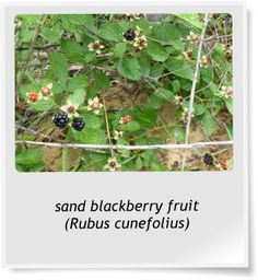 Blackberries Native to Central Florida Central Florida, Blackberry, Magenta, Nativity, Berries, Bloom, Gardens, Herbs, Fruit