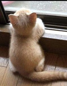 Latte-chan Scottish Fold Post Photo 675 … – 猫 – - Cutest Baby Animals Cute Baby Cats, Cute Little Animals, Cute Cats And Kittens, Cute Funny Animals, Kittens Cutest, Cute Dogs, Pretty Cats, Beautiful Cats, Animals Beautiful
