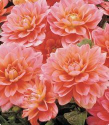 Coral Pink Dahlias
