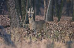 Lombardy's Valle del Ticino Nature Park - an adult male roe-deer #parks #lombardy http://lombardiaparchi.proedi.it/parchi-fluviali-2/parco-naturale-lombardo-della-valle-del-ticino/?lang=en