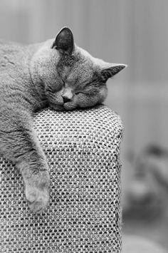 chat chartreux endormi