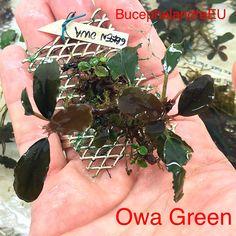 Bucephalandra Owa Green