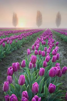 Foggy Sunrise over the Skagit Valley #Tulip Fields, Washington | #flowers | #photographytalk