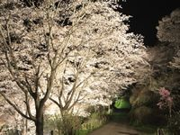 Cherry blossoms being lit up in the night