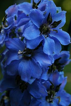 Black Knight Delphinium. I so wish they would grow here- the blues are just fabulous! I did grow a few in FL as winter annuals, but in NC it's too cold in the winter & they die as fast as tulips once it gets warm at all.