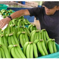 Organic Bananas in El Oro, Ecuador