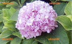 ΟΝΕΙΡΕΜEΝΑ ΧΡΟΝΙA: Πως πολλαπλασιάζω εύκολα τις ορτανσίες μου! Greek Flowers, Tree Forest, Flowering Trees, Trees To Plant, Seeds, Home And Garden, Nature, Plants, Blog
