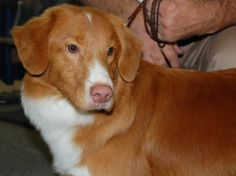 The Nova Scotia Duck Tolling Retriever is the smallest of the retrievers, they are ready for action and desire a job or activity to do. Dog Lover Gifts, Dog Lovers, Animals Beautiful, Cute Animals, Nova Scotia Duck Tolling Retriever, Animal Kingdom, Small Dogs, Dog Training, Smallest Dog