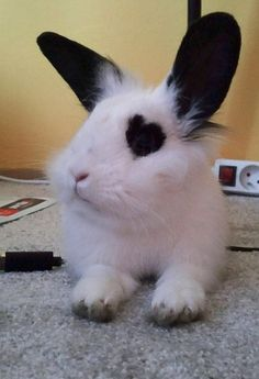 OMG! He has a heart shape around his eye!! Awwww!! #rabbit #rabbits #rabbitlove #rabbitlife #bunny #bunnylove #bunnies #bunnylovers #bunnyrabbit #bunnylife #pet #pets #cute #bunnies
