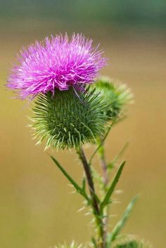 Thistle, Flower Of Scotland