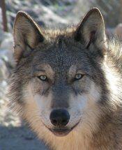 Canis Lupus Mackenzii: Mackenzie Tundra Wolf What a beauty!