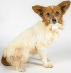 Yule is available for adoption at National Mill Dog Rescue (@National Mill Dog Rescue). #adopt #dogs #endpuppymills #adoptdontshop  #rescue #stoppuppymills