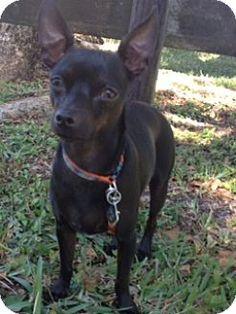 Davie, FL - Chihuahua/Rat Terrier Mix. Meet Emilio, a dog for adoption. http://www.adoptapet.com/pet/12138100-davie-florida-chihuahua-mix