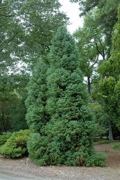 Find Elegans Japanese Cedar (Cryptomeria japonica 'Elegans') in Vancouver Victoria Burnaby Penticton Coquitlam British Columbia BC at GardenWorks Small Trees For Garden, Garden Trees, Close Image, British Columbia, Stepping Stones, Japanese, Outdoor Decor, Plants, Stair Risers