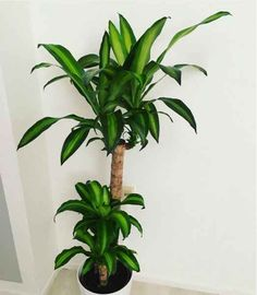 Cornstalk dracaena (Dracaena fragrans) or Massangeana