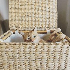 You say laundry hamper, he says cat bed. #tomatotomato #pbpet #lifewithcats (photo of our Savannah Weave Hamper via @chewytheorangecat)