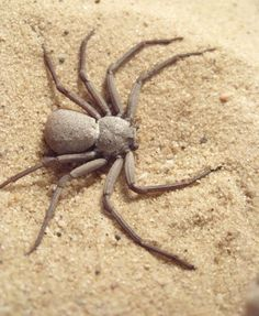 2. #Six-Eyed Sand Spider - 7 of the World's Most #Poisonous Spiders ... →…