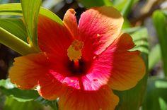 Hibiscus in my yard so pretty
