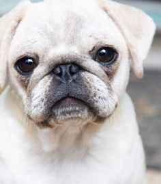 Pug Wallpaper, Cute Dogs And Puppies, Doggies, White Pug, Animals And Pets, Cute Animals, Cute Pug Pictures, Boxer Bulldog, Pugs And Kisses