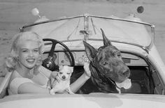 Jayne Mansfield and her Great Dane, Byron, and chihuahua, Phillip