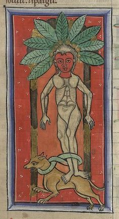 Medieval Bestiary : Mandrake Gallery BL., Sloane MS 1975, Folio 49r. A mandrake is tied to a dog, which will pull the palnt from the earth.
