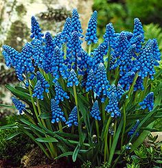 "Blue grape hyacinths, 6-8"", mid spring"