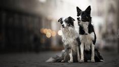 Dwa, Psy, Border collie, Rozmyte, Tło