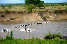 wildebeest migration  shot by David and Renee C. from San Jose, California Safari Dates: October 8, 2013 to October 18, 2013