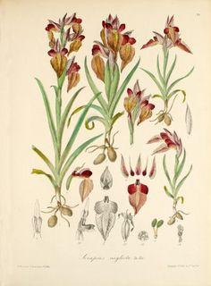 Serapias neglecta De Not.  1868