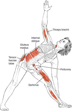 Utthita Trikonasana - Leslie Kaminoff Yoga Anatomy Illustrated by Sharon Ellis