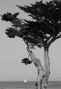Monterey Cypress Santa Barbara California, California Dreamin', Pictures To Paint, Art Pictures, Monterey Cypress, Edward Weston, Female Photographers, Monochrome Photography, Through The Looking Glass