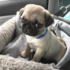 The Cutest Puppy Of The Day - 24 pics Dogs pug puppies Cute Baby Pugs, Black Pug Puppies, Tiny Puppies, Cute Dogs And Puppies, Little Puppies, Pug Dogs, Doggies, Cute Funny Animals, Cute Baby Animals