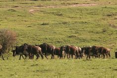 An Implausibility of Wild Gnus