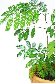 Blätter der Mimose