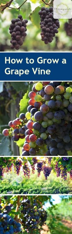 How to Grow a Grape Vine - How to Grow Your Own Grape Vine Grape Vine Growing Grape Vines Gardening Gardening Fruit How to Grow Fruit Popular Pin Grape Vine Trellis, Grape Vines, Wire Trellis, Growing Grapes, Growing Plants, Fruit Garden, Garden Plants, Garden Seeds, Grapevine Growing