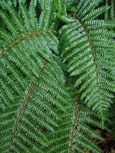 """Polystichum polyblepherum (Tassel fern) - Fern - Zones 5-8, Height 12-18 in. Meaning """"many eyelashes"""", polyblepharum describes the fuzzy stems of this glossy deep green garden fern. Dependable and hardy, it lends elegance to the shade border and combines well with Carex, Heuchera and other ferns. Evergreen in warmer zones."""