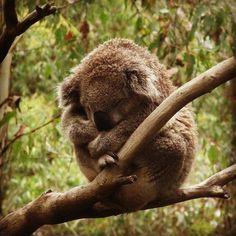 Koala Bear I just want to cuddle with him!