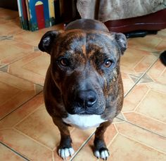 A person called him ugly today on our walk. : pitbulls actually quite beautiful Staffy Bull Terrier, Staffy Dog, Bullmastiff, Wild Animals Attack, Cute Pitbulls, Staffordshire Dog, Dogs And Puppies, Doggies, Pit Bull Love