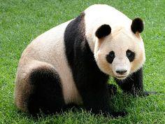 ジャイアントパンダ-調べてみよう!絶滅しそうな動物たち-絶滅危惧動物図鑑(ぜつめつきぐどうぶつずかん) | コニカミノルタ