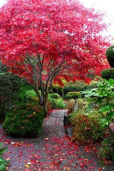 Typical Backyard Walkway with Lovely Mature Flowering Trees and Amazing Gardens :)  love this tree