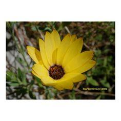 Waking Yellow Daisy | Photography by Martie Hevia http://www.zazzle.com/mhevia*/
